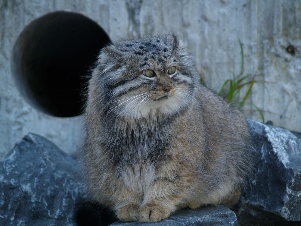 国家保护动物猫类图片