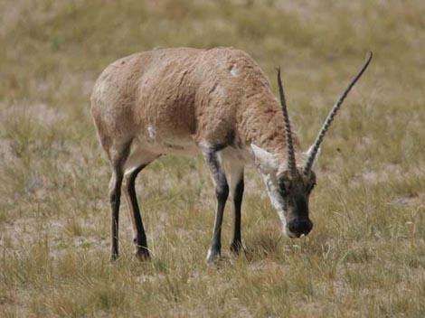栖息于青藏高原的冻荒漠和高山草原,包括海拔低的柴达木盆地.
