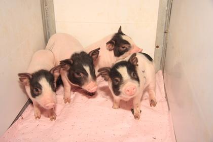 基因突变的小型猪